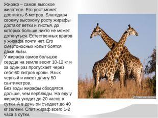 Жираф – самое высокое животное. Его рост может достигать 6 метров. Благодаря