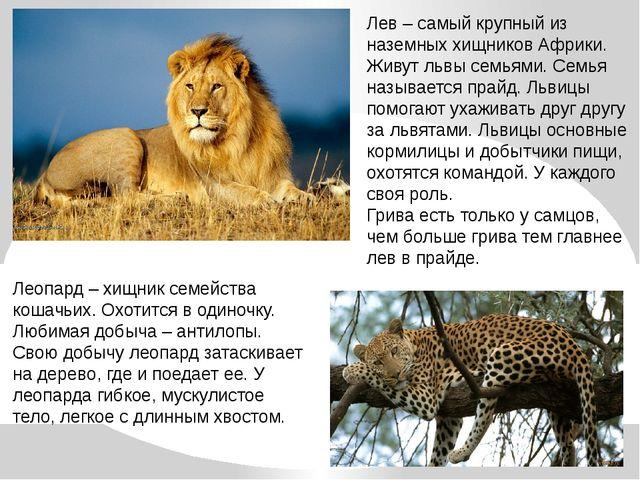 Лев – самый крупный из наземных хищников Африки. Живут львы семьями. Семья на...
