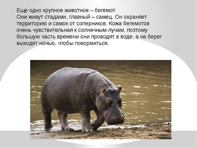 Еще одно крупное животное – бегемот. Они живут стадами, главный – самец. Он о...
