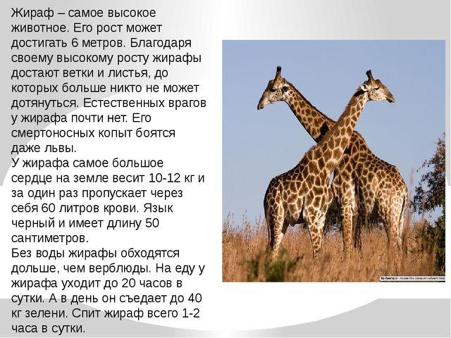 Жираф – самое высокое животное. Его рост может достигать 6 метров. Благодаря...