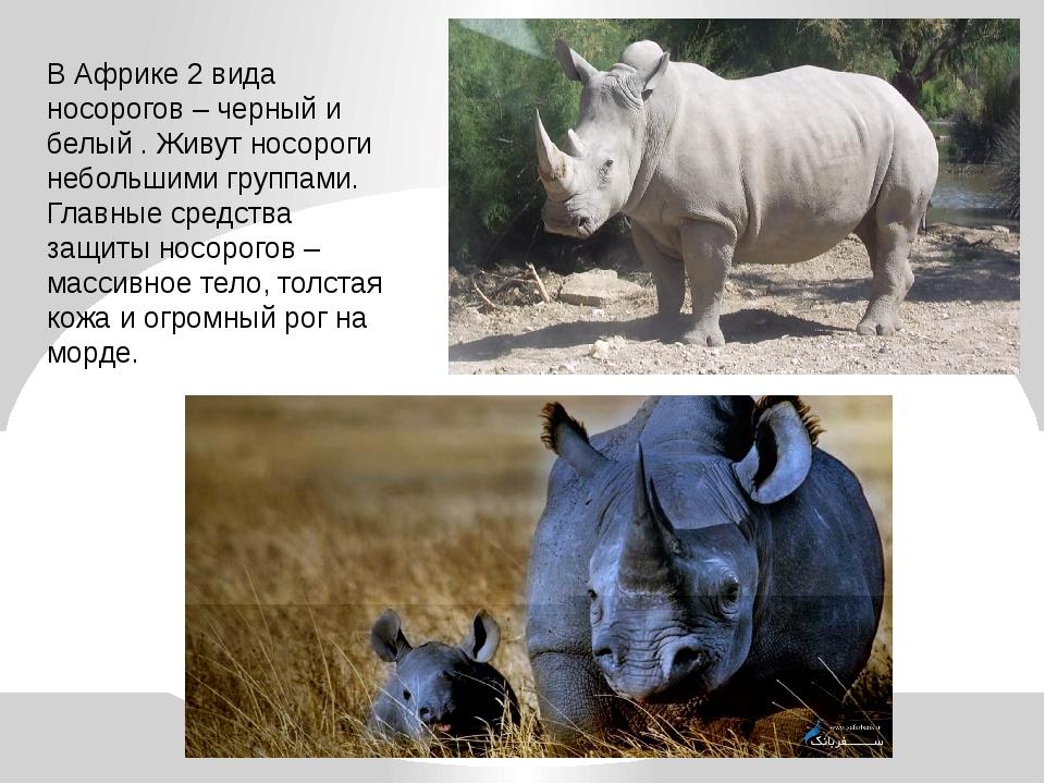 В Африке 2 вида носорогов – черный и белый . Живут носороги небольшими группа...