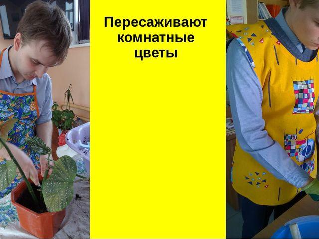 Пересаживают комнатные цветы