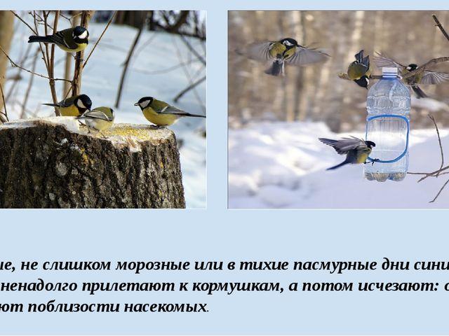 В ясные, не слишком морозные или в тихие пасмурные дни синицы по утрам ненад...