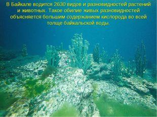 В Байкале водится 2630 видов и разновидностей растений и животных. Такое обил