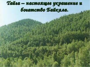 Тайга – настоящее украшение и богатство Байкала.