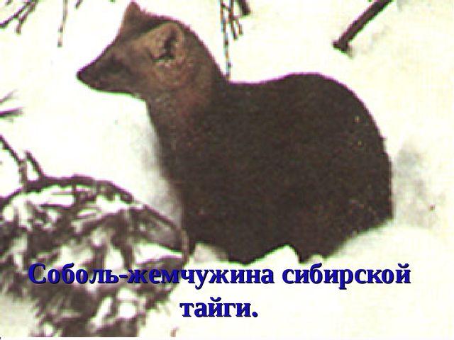 Соболь-жемчужина сибирской тайги.