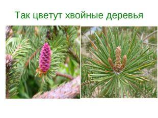 Так цветут хвойные деревья