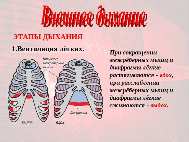 1.Вентиляция лёгких. ЭТАПЫ ДЫХАНИЯ При сокращении межрёберных мышц и диафрагм...