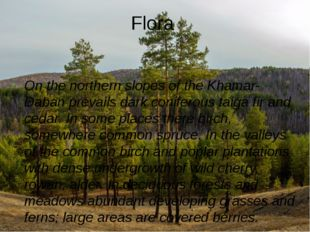 Flora On the northern slopes of the Khamar-Daban prevails dark coniferous tai