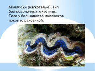 Моллюски (мягкотелые), тип беспозвоночных животных. Тело у большинства моллюс