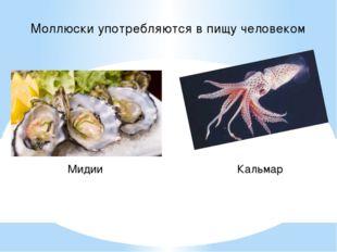 Моллюски употребляются в пищу человеком Мидии Кальмар