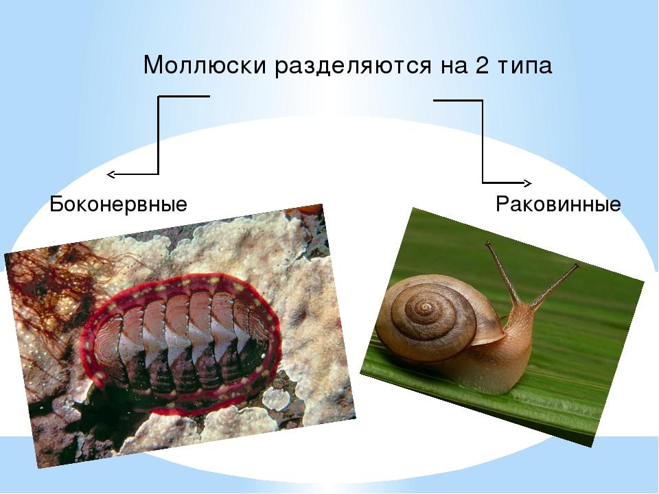 Моллюски разделяются на 2 типа Боконервные Раковинные