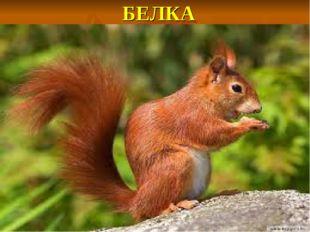 БЕЛКА Не мышь, не птица, В лесу резвится. На деревьях живет И орешки грызёт.