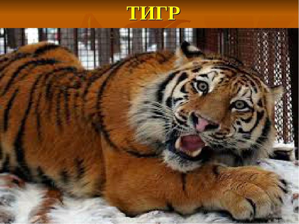 ТИГР Он хищный зверь, хотя немножко, Совсем чуть-чуть похож на кошку, Когда о...