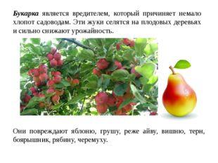 Букарка является вредителем, который причиняет немало хлопот садоводам. Эти ж