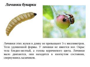 Личинки этих жуков в длину не превышают 3-х миллиметров. Тело удлиненной форм
