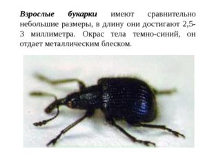 Взрослые букарки имеют сравнительно небольшие размеры, в длину они достигают