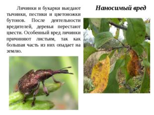 Личинки и букарки выедают тычинки, пестики и цветоножки бутонов. После деяте