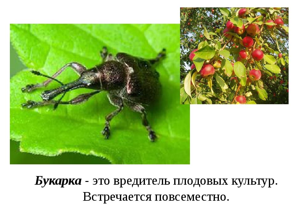 Букарка - это вредитель плодовых культур. Встречается повсеместно.