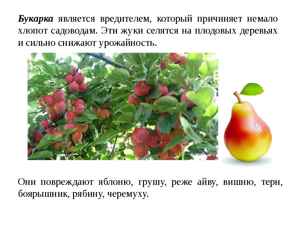 Букарка является вредителем, который причиняет немало хлопот садоводам. Эти ж...