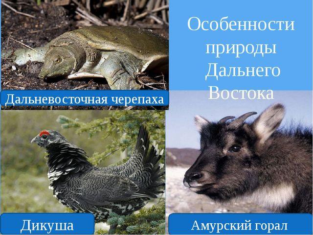 Особенности природы Дальнего Востока Амурский горал Дикуша Дальневосточная че...