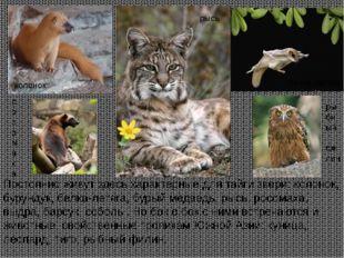 Постоянно живут здесь характерные для тайги звери: колонок, бурундук, белка-л