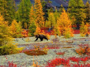Здесь Тибетские медведи, А еще есть бурые,