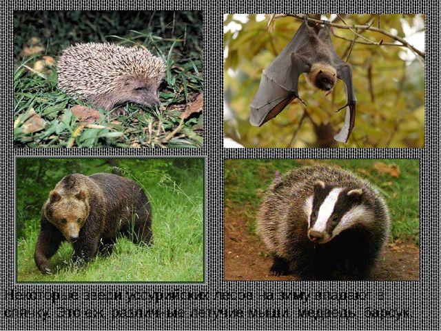 Некоторые звери уссурийских лесов на зиму впадают в спячку. Это еж, различные...