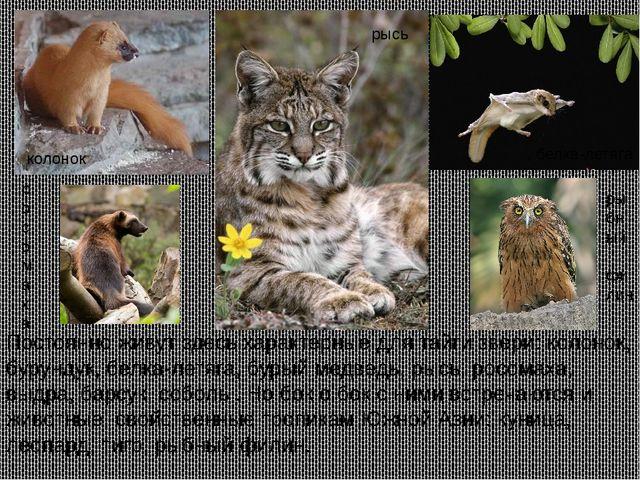 Постоянно живут здесь характерные для тайги звери: колонок, бурундук, белка-л...