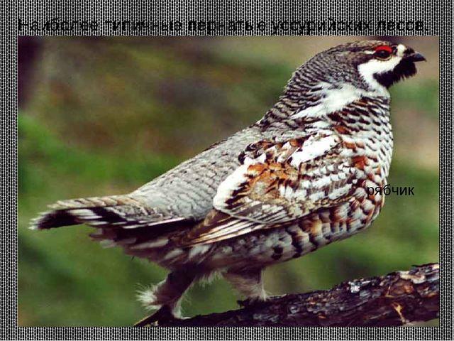 Наиболее типичные пернатые уссурийских лесов. Маньчжурский фазан. утка-мандар...