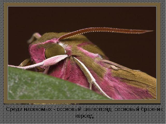 Среди насекомых - сосновый шелкопряд, сосновый бражник, короед.