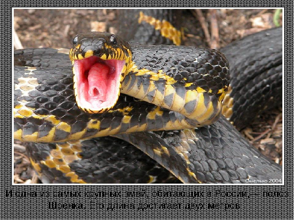 И одна из самых крупных змей, обитающих в России,— полоз Шренка. Его длина до...