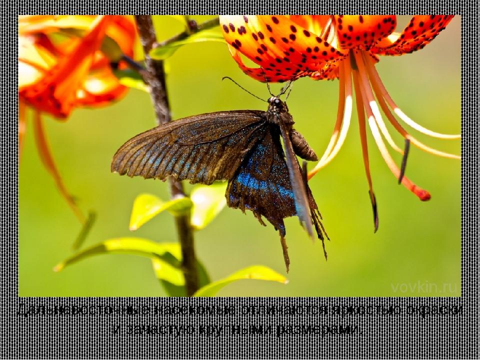 Дальневосточные насекомые отличаются яркостью окраски и зачастую крупными раз...