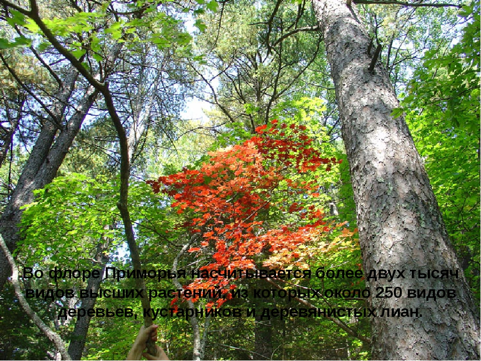 Во флоре Приморья насчитывается более двух тысяч видов высших растений, из ко...