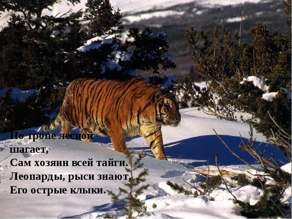 По тропе лесной шагает, Сам хозяин всей тайги. Леопарды, рыси знают, Его остр...