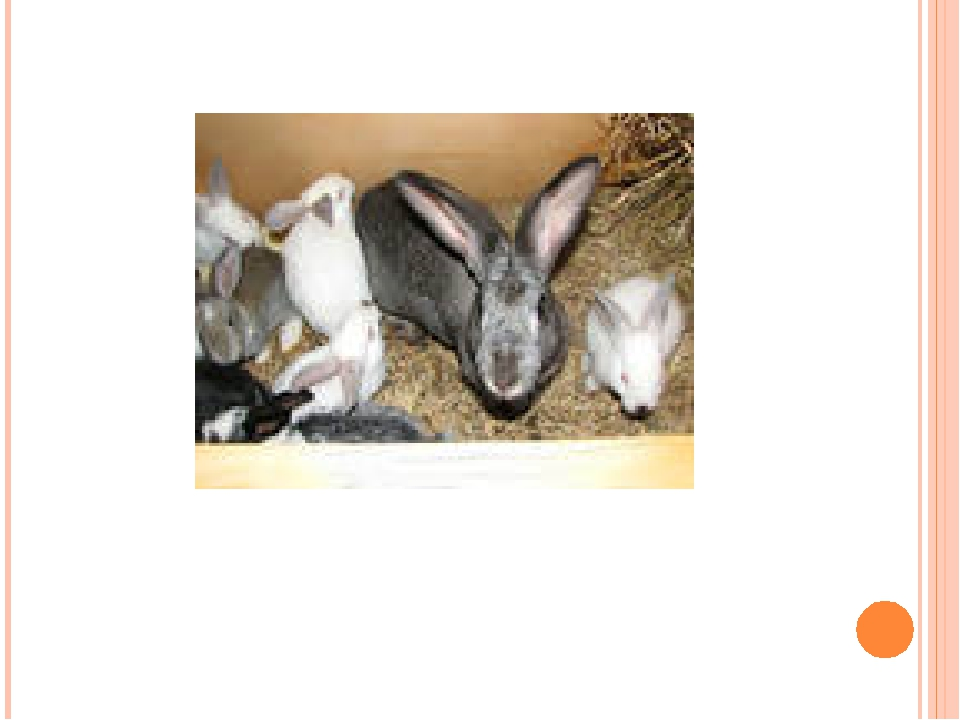 (Rabbits / big ears)