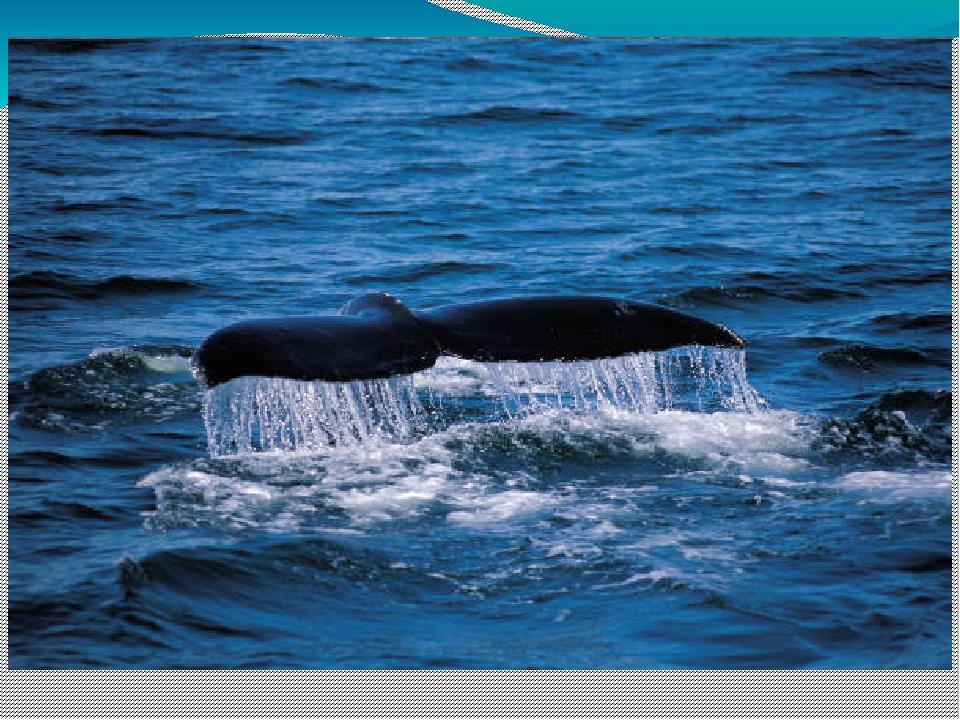 Көк киттің тістері болмайды. Майда су жәндіктерімен қоректенеді. Үлкен аузына...