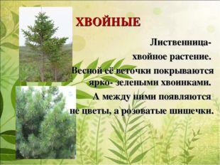ХВОЙНЫЕ Лиственница- хвойное растение. Весной её веточки покрываются ярко- зе