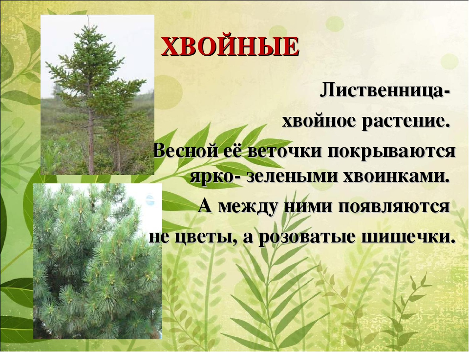 ХВОЙНЫЕ Лиственница- хвойное растение. Весной её веточки покрываются ярко- зе...