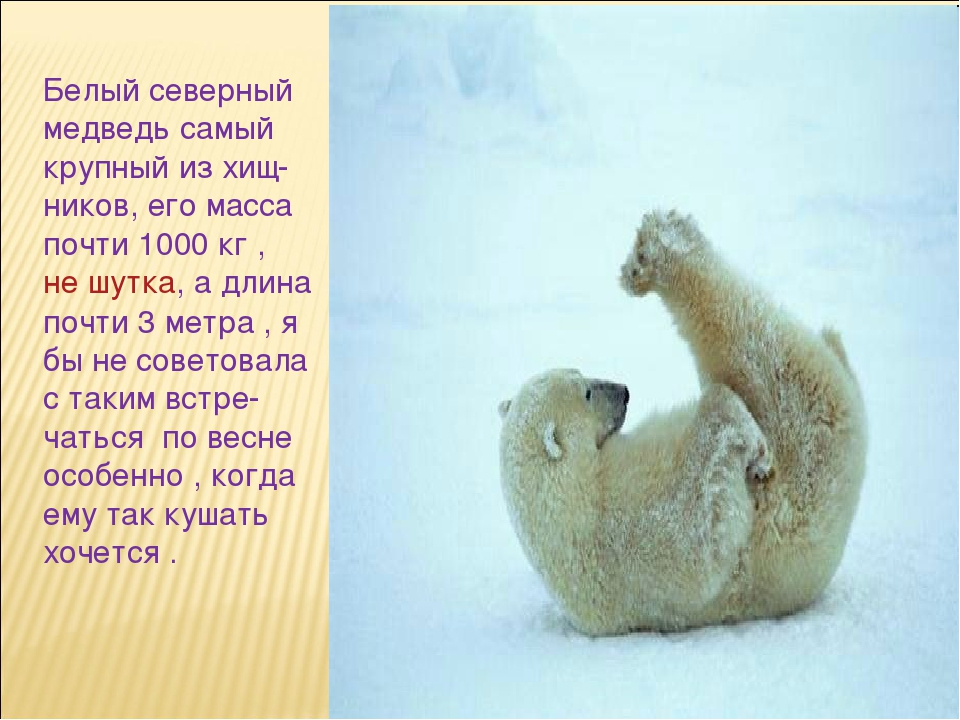 Белый северный медведь самый крупный из хищ- ников, его масса почти 1000 кг ,...