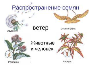 Животные и человек Распространение семян Одуванчик Семена клёна Репейник Чере