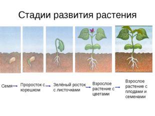 Стадии развития растения Семя Проросток с корешком Зелёный росток с листочкам