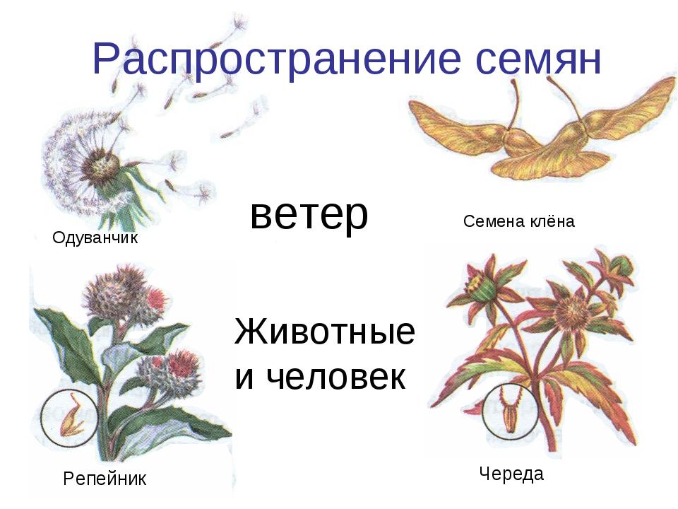 Животные и человек Распространение семян Одуванчик Семена клёна Репейник Чере...