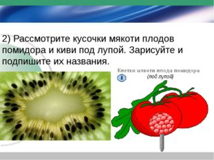 2) Рассмотрите кусочки мякоти плодов помидора и киви под лупой. Зарисуйте и