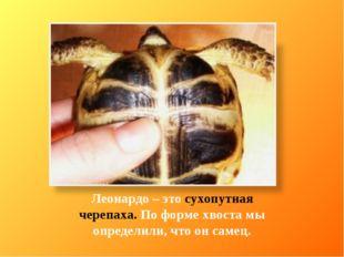 Леонардо – это сухопутная черепаха. По форме хвоста мы определили, что он сам
