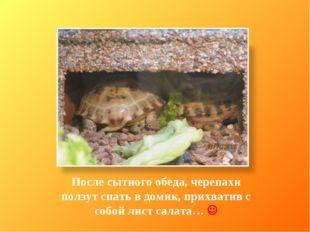 После сытного обеда, черепахи ползут спать в домик, прихватив с собой лист са