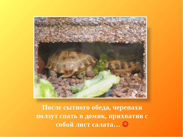 После сытного обеда, черепахи ползут спать в домик, прихватив с собой лист са...