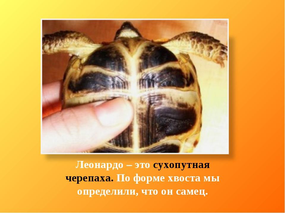 Леонардо – это сухопутная черепаха. По форме хвоста мы определили, что он сам...