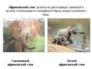 Саванновый африканский слон Африканский слон делится на два подвида: саванный