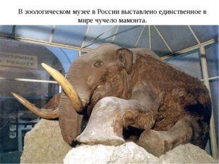 В зоологическом музее в России выставлено единственное в мире чучело мамонта.
